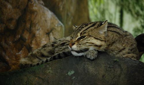 Fishing Cat, Intrupted Sleep