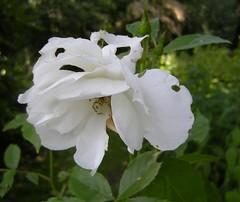 Welkende weiße Rose