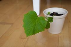 Komkommer blad 3 weken / Cucumber 3 weeks