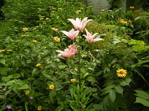 Lilie und Staudensonnenblumen 1