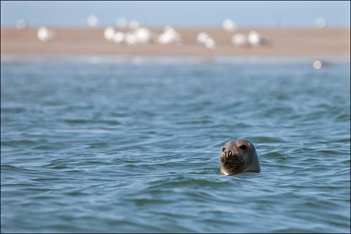 Seals / Zeehonden