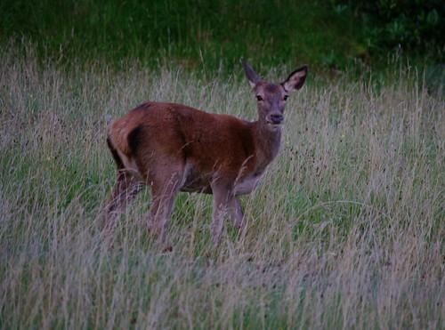 Tioram deer