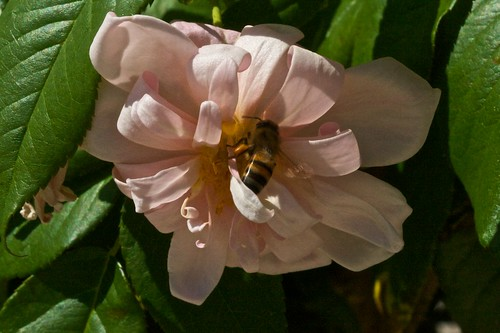 Bee on Perle D'Or