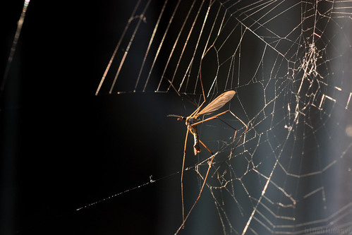Crane fly trapped in spider web