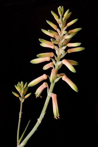 Aloe Flower Spike