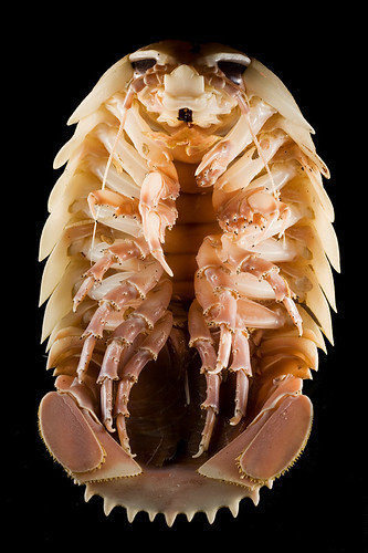 Underside of the Giant Isopod, Bathynomus giganteus, showing its heavily armored covering and numerous legs.