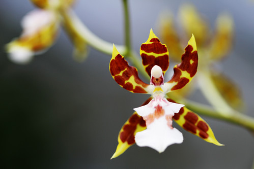 parachuting orchid