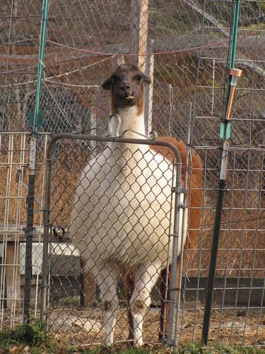 323/365 Llama