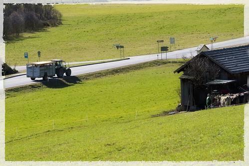vacche in corriera,  old style, dopo la nevicata del giorno prima si torna in stalla :-)