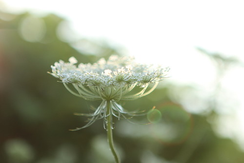 Queen Anne's Lace w/soft bokeh