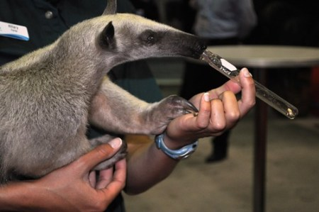 Lesser Anteater in the Sea World Booth