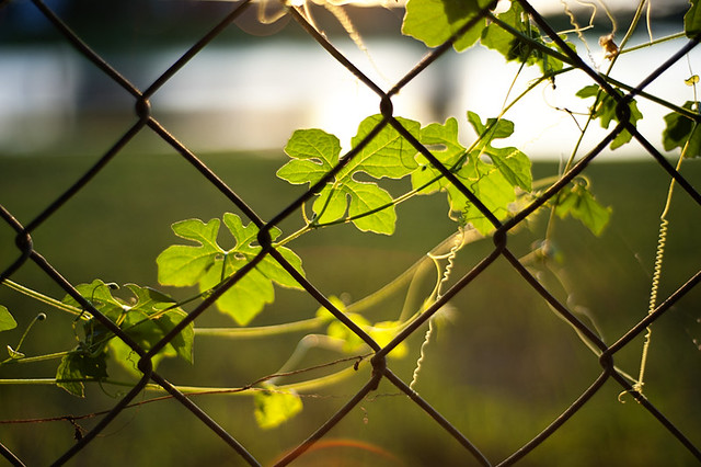 vine on the fence