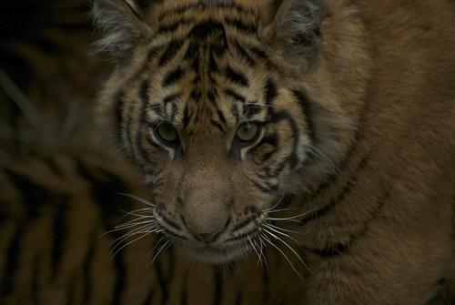 Tiger 09