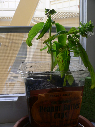 Basil planted in a handy Trader Joes container