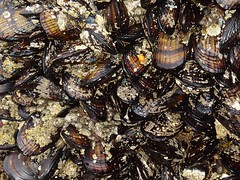 lotsa mussels