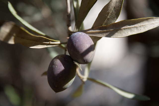 olives ready for the picking