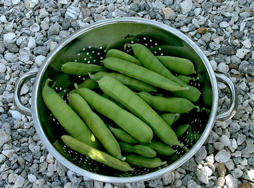 Bay Bean Harvest