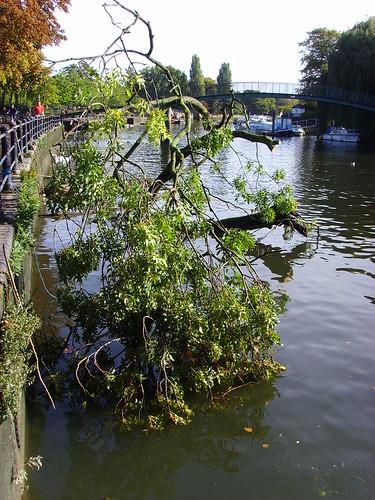 Tree in river, Twickenham