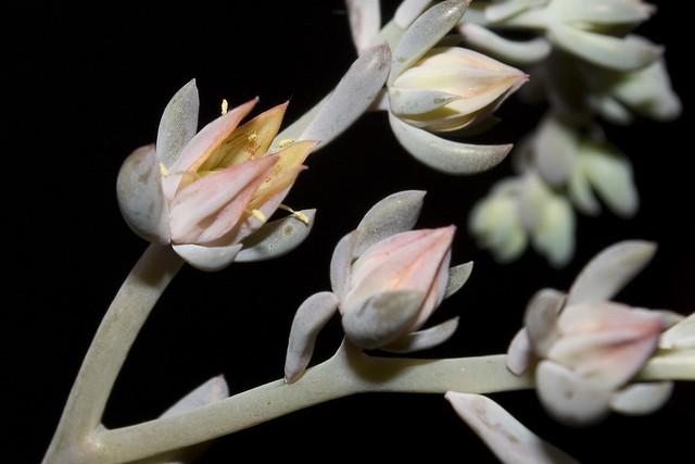 Echeveria Flower