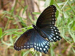 Red-spotted Purple Butterfly - Bright Angel Ca...