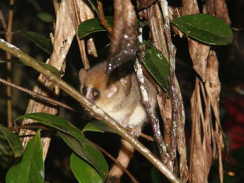Lémur ratón de Godman (Microcebus lehilahytsara)