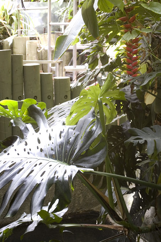 Heliconia flowers and Monstera leaves