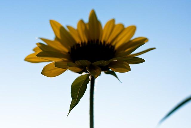{257/365} sunflower