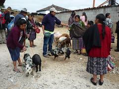 Schweinemarkt in Chichicastenango, Guatemala
