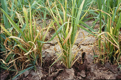 Herbicide damage in wheat