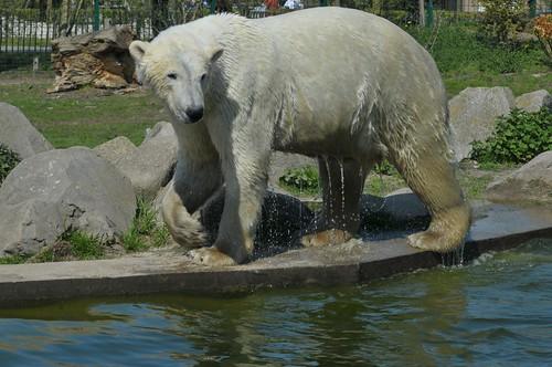 Eisbär Jelle im Dierenrijk in Mierlo