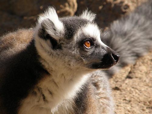 Retrato de un lémur de cola anillada