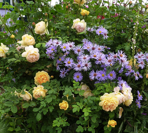 'Golden Celebration' Rose & Aster 'Skyscraper'
