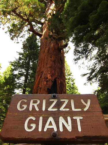 Grizzly Giant, Mariposa Grove