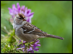 Young white-crowned sparrow on cleome