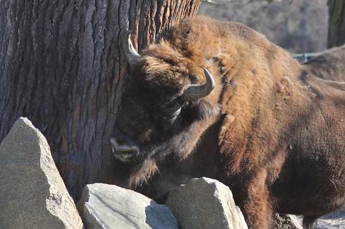 Amerikanisches Bison im Tierpark Friedrichsfelde