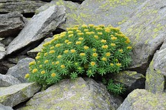 Rhodiola Rosea - plante anti-stress