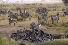 'Wildtrek' van Zebra's