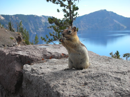Another Hungry Chipmunk in Crater Lake