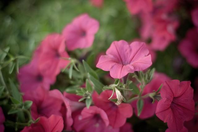 {256/365} hot pink petunias