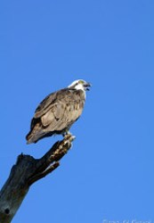Perched, yelling Osprey