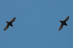 Tufted Puffins in flight #1