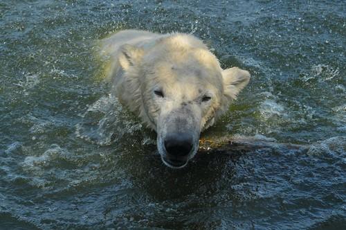 Eisbär Henk im Dierenrijk in Mierlo