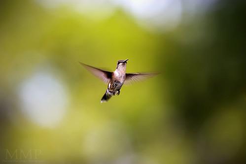 Backyard Humming Birds