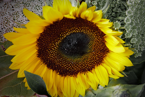 {220/365} sunflower