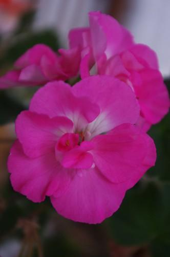 02.02.2011 Geranium