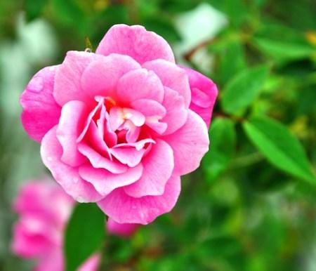 Morning Rose at Punta Gorda History Park