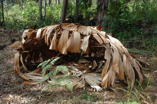 Licuala palm thatch hut