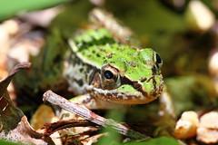 Mini-frog 1