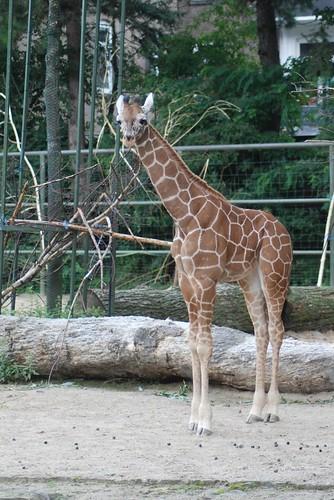 Netzgiraffe Manya im Kölner Zoo