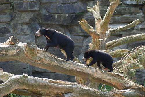 Malaienbären Bao und Gula im Kölner Zoo